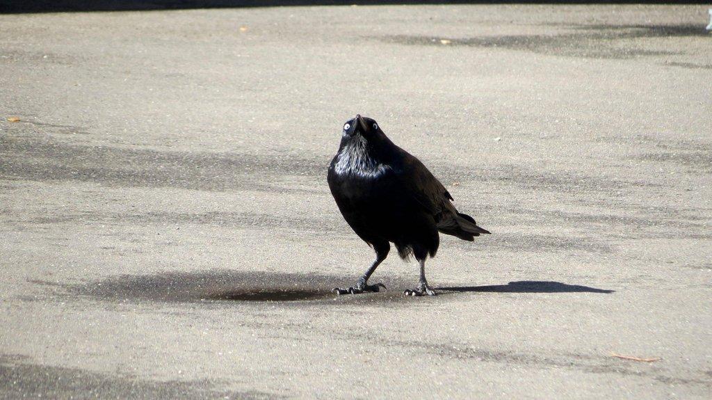 Insanity Crow | Know Your Meme