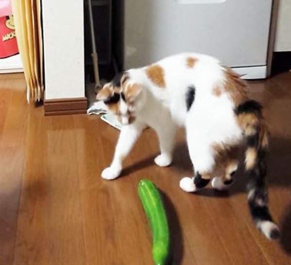 Cats Vs Cucumbers Know Your Meme