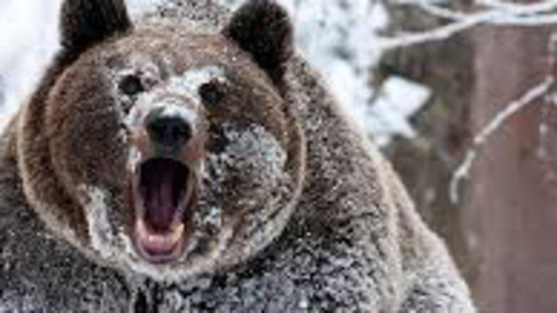 Image result for bear cocaine