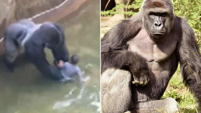 harambe the gorilla know your meme