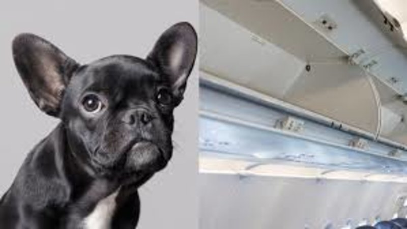 united airlines dog