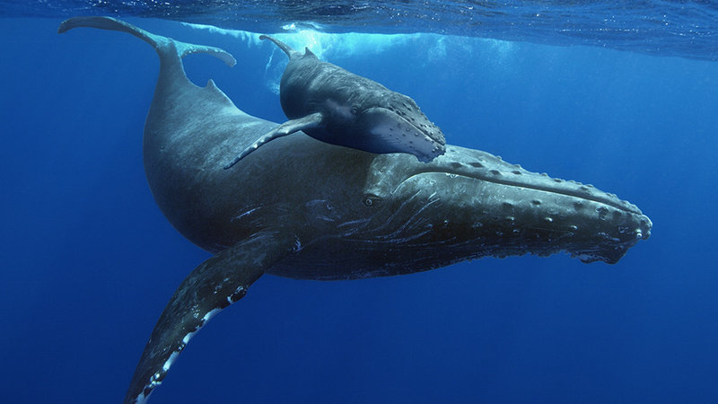 Humpbackwhales_image01_mom-calf