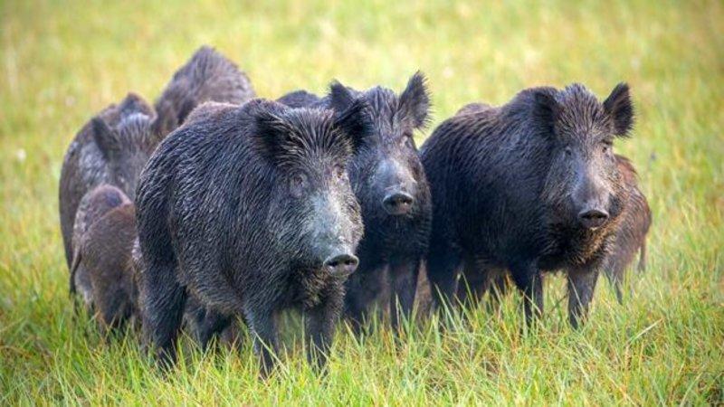 30-50 Feral Hogs
