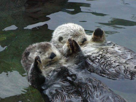 Otters Holding Hands Know Your Meme