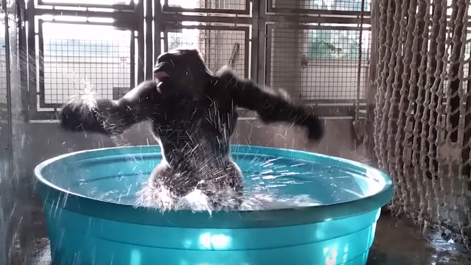 gorilla dancing in a kiddie pool know your meme