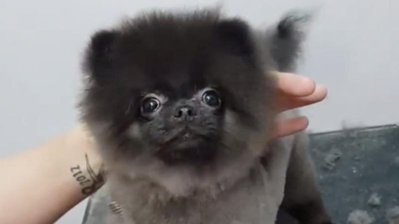 Dancing Dog Gets Haircut