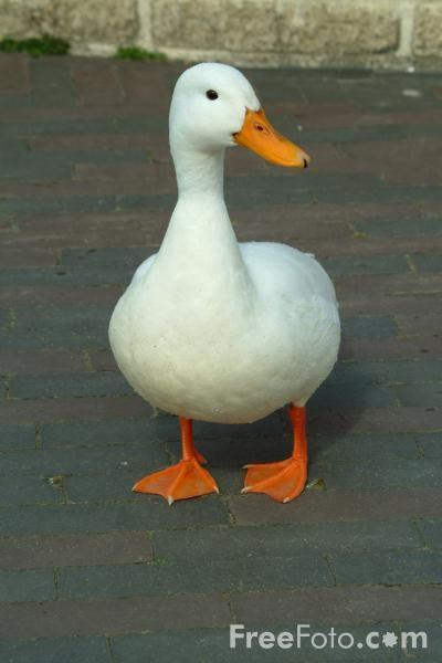 Technologically Impaired Duck Know Your Meme