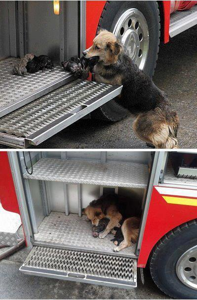 Dog saves puppies from burning house | Animals | Know Your Meme