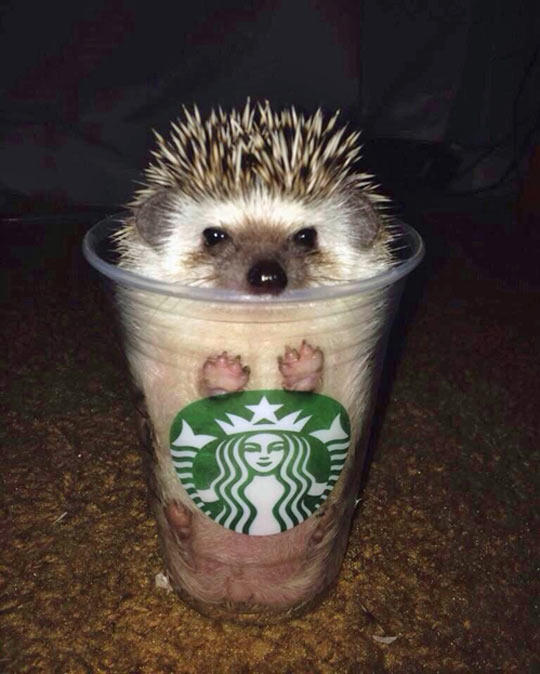 Latte Pumpkin Spice Latte Coffee hedgehog domesticated hedgehog erinaceidae mammal