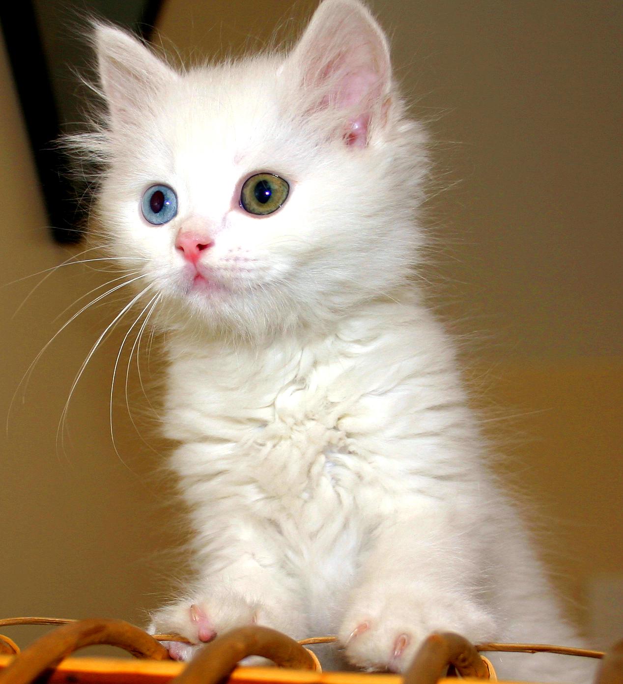 Turkish Van Kitten Cats Know Your Meme