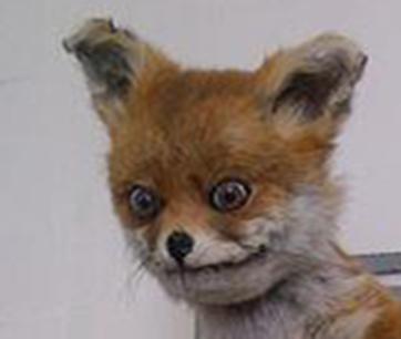 Bildergebnis für fox face meme