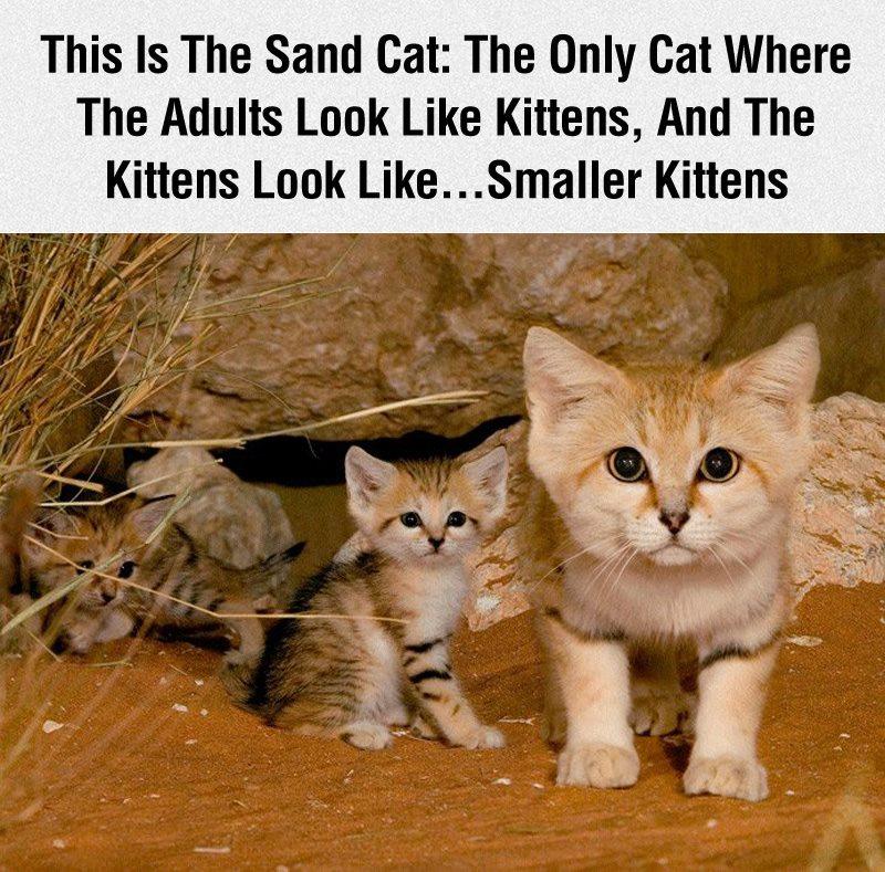 midget cats cute cat 2018