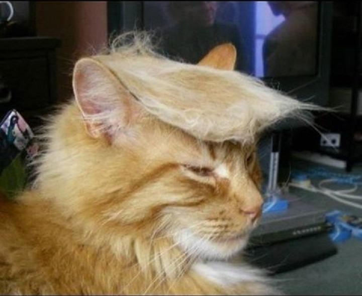 Donald Trump Cat Trump Your Cat Know Your Meme