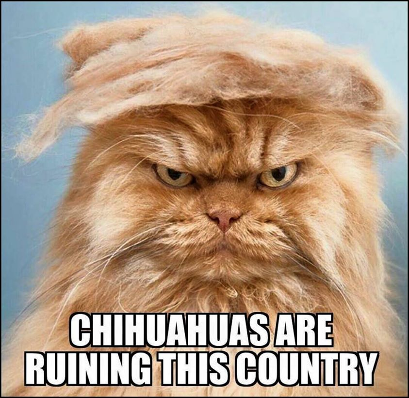 Chihuahuas Are Ruining This Country Trump Your Cat Know Your Meme