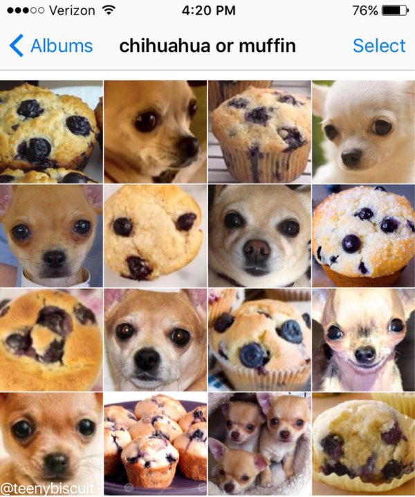 Chihuahua Or Muffin Puppy Or Bagel Know Your Meme