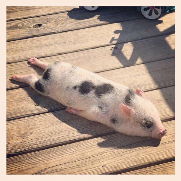Piglet Sunbathing Animals Know Your Meme