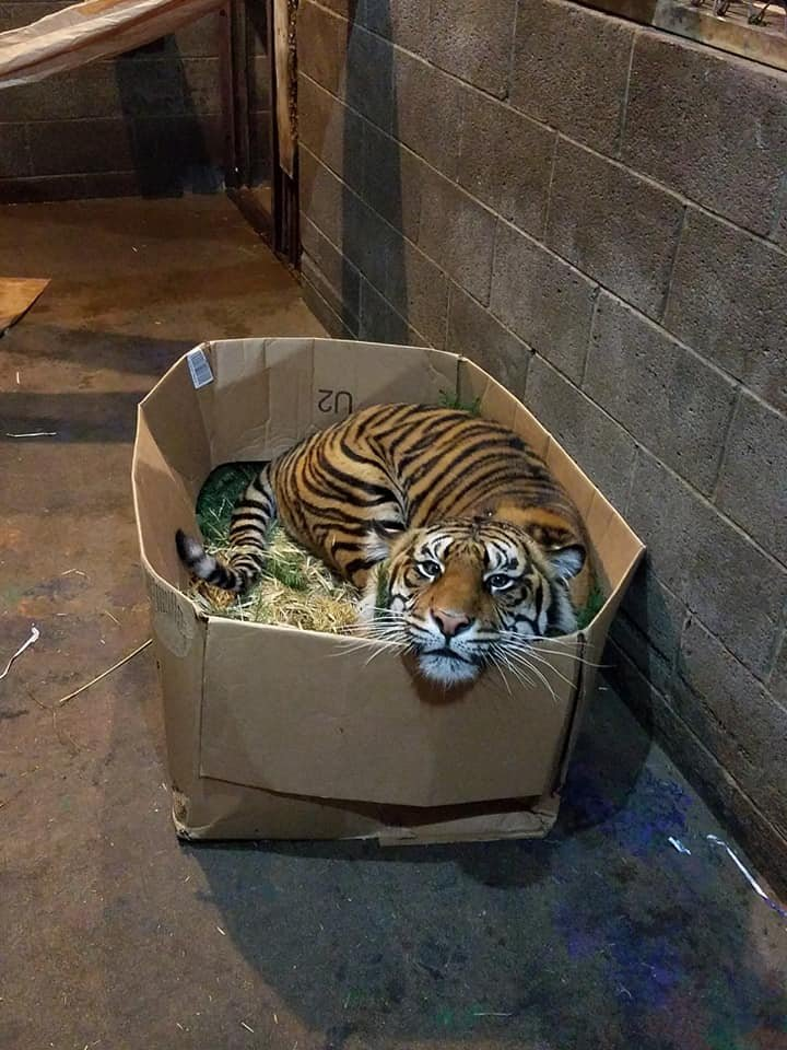 Image result for pic of tiger in a box